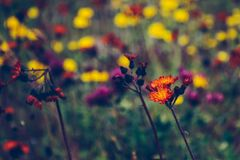 Wildflower alaranjado que está para fora em um campo borrado de flores selvagens imagem de stock royalty free