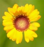 Wildflower amarelo brilhante Imagem de Stock