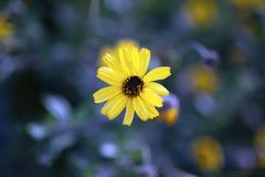 Wildflower amarelo de Califórnia que cresce na praia de Newport da reserva natural do Back Bay imagens de stock