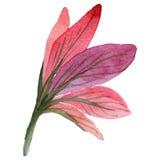 Wildflower amarillis kwitną w akwarela stylu odizolowywającym Zdjęcia Royalty Free