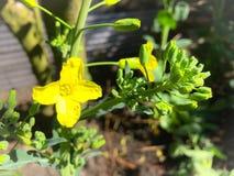 Wildflower amarillo Foto de archivo libre de regalías