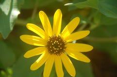 Wildflower amarillo Imagenes de archivo