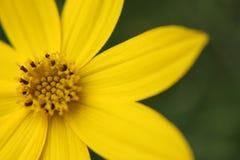 Wildflower amarillo Fotografía de archivo
