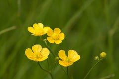 Wildflower amarillo Imágenes de archivo libres de regalías