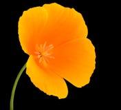 Wildflower amarillo con el centro anaranjado aislado Fotografía de archivo