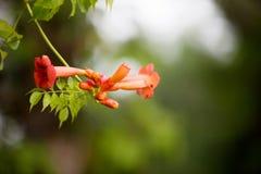 Wildflower arancio della spiaggia Fotografia Stock Libera da Diritti