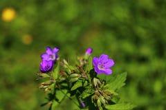Wildflower, arbolado, geranio, sylvaticum del geranio, bosque, Storchschnabel, cranesbill de madera, púrpura, naturaleza, planta, imágenes de archivo libres de regalías