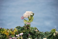 Wildflower auf die Oberseite des Punktes Reyes Stockbilder