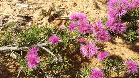 Wildflower australiano Fotos de archivo