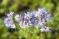 Wildflower azul claro en cierre para arriba Fotografía de archivo libre de regalías