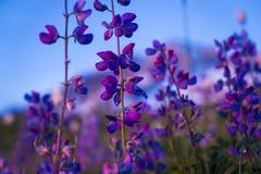 Wildflower azul do lupine Fotografia de Stock