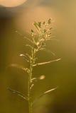 Wildflower in backlight Royalty-vrije Stock Foto