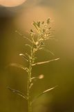 Wildflower in backlight Royalty Free Stock Photo