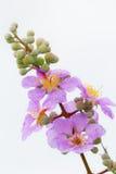 Wildflower. Beautiful wild flower from Thailand Stock Photos