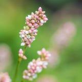 Wildflower bianco Immagine Stock
