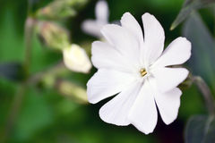 Wildflower blanc de floraison d'Ontario Image stock