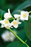 Wildflower blanco Imágenes de archivo libres de regalías