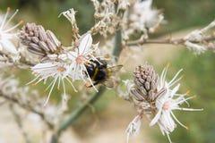 Wildflower blanco con una abeja de la miel Fotografía de archivo libre de regalías