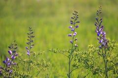 Wildflower bleu sauvage d'indigo photos stock