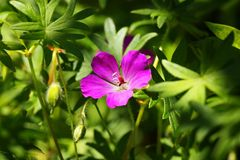 Wildflower of bloody geranium Geranium sanguineum Stock Photos