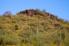 Arizona Wildflower Bloom Stock Image