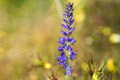 Wildflower blu su fondo vago Immagini Stock