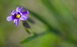 Wildflower Blue-eyed Grass, Sisyrinchium bellum Stock Photo