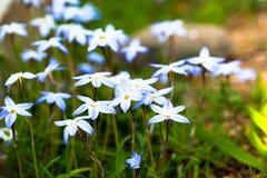 Wildflower - Blue-Eyed Grass - Sisyrinchium montanum in Japan Stock Photos