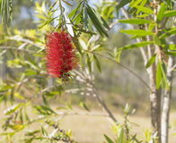 Wildflower bottlebrush Callistemon австралийца красный Стоковая Фотография