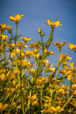 Wildflower buttercups Royalty Free Stock Photos
