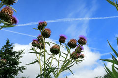 Wildflower called Knapweed Royalty Free Stock Photography