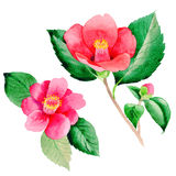 Wildflower Camellia Japanese flower in a watercolor style isolated. Aquarelle wild flower for background, texture, wrapper pattern, frame or border Stock Photo