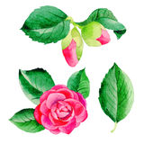 Wildflower Camellia Japanese flower in a watercolor style isolated. Aquarelle wild flower for background, texture, wrapper pattern, frame or border Royalty Free Stock Image