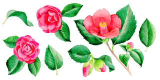 Wildflower Camellia Japanese flower in a watercolor style isolated. Aquarelle wild flower for background, texture, wrapper pattern, frame or border Stock Images