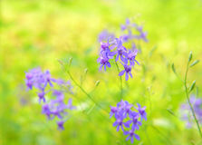 Wildflower Royalty Free Stock Photography