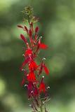Wildflower Cardinal Алабамы Стоковые Изображения RF