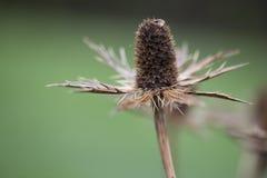 Wildflower - cardo Imagenes de archivo