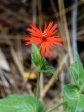 Wildflower carmesí Foto de archivo libre de regalías