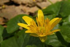 WildFlower Celandine стоковое фото