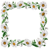 Wildflower chamomile flower frame in a watercolor style isolated. Full name of the plant: chamomile, daisy wheel .Aquarelle wild flower for background, texture Royalty Free Stock Images
