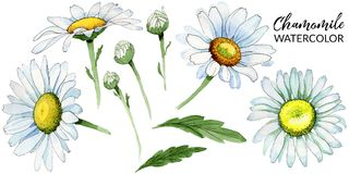 Wildflower chamomile flower in a watercolor style isolated. Full name of the plant: chamomile. Aquarelle wild flower for background, texture, wrapper pattern stock image