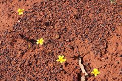 Yellow native Velleia wildflower species captures the red dry soil of the Australian outback. The wildflower collection in Western Australia is the largest on Stock Photo