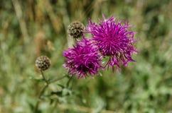 Wildflower commun de centaurée Photo stock