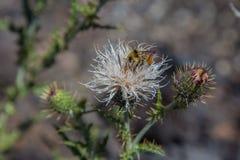 Wildflower con la abeja Imagenes de archivo