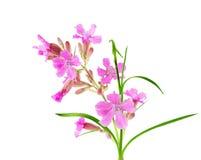 Wildflower cor-de-rosa imagem de stock royalty free