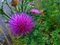Wildflower cor-de-rosa-azul da beleza Fotos de Stock