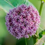 WildFlower cor-de-rosa do Allium imagem de stock royalty free