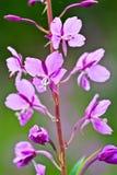 Wildflower d'Alasca Immagini Stock Libere da Diritti