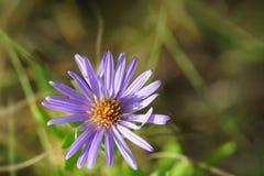 Wildflower d'aster aromatique Photo stock