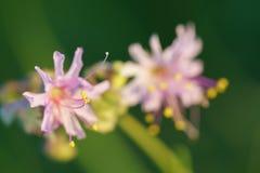 Wildflower d'horloge de ` du blanc quatre o Image libre de droits